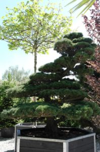Borovice drobnokvětá bonsai